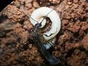Vědci objevili v Brazílii novou čeleď brouků