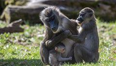 Zoologické zahrady v Česku chrání zvěř před koronavirem. Nebezpečí hrozí hlavně primátům a šelmám