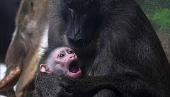 Zoologické zahrady v době koronavirové. Ztráty půjdou do desítek milionů, nejohroženější jsou primáti