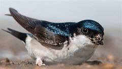 Kupky hnoje na polích přispívají k rozmanitosti ptactva, tvrdí vědci