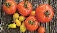 Šťavnatá rajčata na zahradě. Kdy je začít sázet a jak se o ně starat?