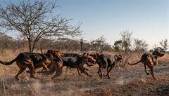 V JAR vycvičili skupinu psů k ochraně divočiny. Před pytláky zachránili již 45 nosorožců