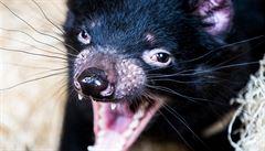 Ochránci umístili ohrožené tasmánské čerty na malý ostrov. Dravci tam ale zdevastovali populaci tučňáků