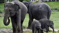 Sloní mláďata z pražské zoo dostala jména Amalee a Lakuna. Obě zůstanou v Praze