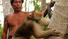 Britské supermarkety stahují výrobky s kokosem. Vadí jim, že v Thajsku ořechy sbírají opice