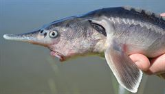 Maďarským vědcům se podařilo zkřížit jesetera s veslonosem. Náhodně tak vznikl rybí hybrid