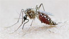 Nasadili jsme proti viru zika modifikované komáry, oznámili vědci