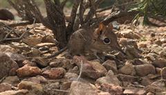 Vzácný druh bércouna byl znovu objeven v Africe po 50 letech