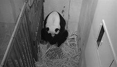 Ve washingtonské zoo se narodila panda. Na svět ji přivedla dvaadvacetiletá Mej Siang