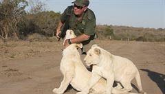 Ochránce přírody roztrhaly během procházky jeho bílé lvice. Choval je v proslulém safari hotelu