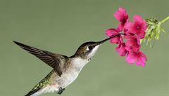 V Ekvádoru překvapil vědce kolibřík s kontratenorem