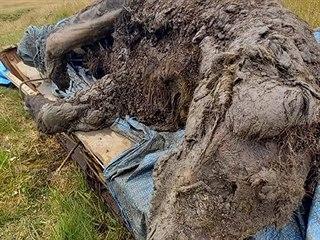 Zachovalá mumie medvěda z doby ledové.