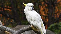Vědci zkoumali tančícího papouška a záviděli