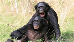 Šimpanzi bonobo mají smysl pro rytmus a takt, odhalili vědci