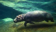 Pražská zoo znovuotevírá pavilon hrochů. Výroční slavnost proběhne prostřednictvím televize