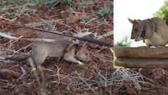 Medaili za zvířecí hrdinství poprvé dostala krysa. Vyhledáváním min v Kambodži zachránila nesčetně životů