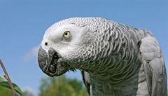 Nejupovídanější papoušek na světě slaví kulatiny. Předvede i kapající kohoutek
