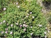 Nečekaná pomoc? Zázračná rostlina z Kréty by mohla účinkovat i proti koronaviru, domnívají se vědci