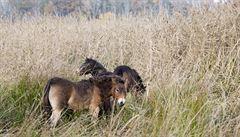 Divocí koně se vrací do přírody na Pardubicku, ochránci zvířat vypustili dalších osm kusů