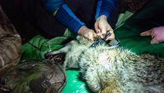 VIDEO: Velký úspěch vědců na Šumavě, nasadili monitorovací obojek divoké vlčici, teď ji budou sledovat