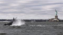 OBRAZEM: Keporkak připlul hledat potravu až k soše Svobody v New Yorku