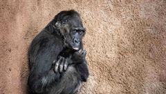 Samice Bikira ze Zoo Praha má po covidu už jen mírný kašel. Zahradě chybí kvůli uzavření tři čtvrtě milionu návštěvníků