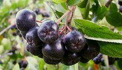 Bylinková abeceda. Temnoplodec černý obsahuje jód, železo i vitamíny řady B
