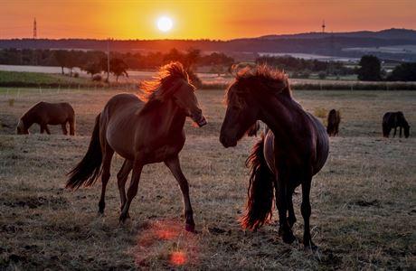 Je to živé peklo. Koně napadá agresivní herpesvirus, mají podobné příznaky jako lidé s covidem
