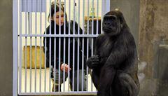Richard se spářil s Bikirou. Dočká se pražská zoo gorilího přírůstku?