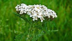 Bylinková abeceda. Yva je protizánětlivá a antiseptická, pěstovat se dá i na zahradě