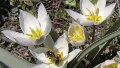 Krásný ťulpas tulipán. Proč se v jeden moment stal symbolem zbytečnosti?