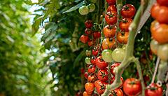 Rajčata neskladujte v lednici, v tmavé místnosti vydrží i měsíc, říká pěstitel