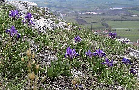 Květ krále Francie. Ohrožený a zákonem chráněný kosatec nízký krášlí Moravu