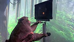 VIDEO: Technologický průlom? Muskova společnost ukázala opici, která hraje videohry pomocí mysli