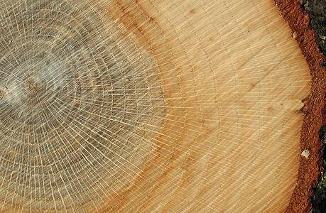 Letokruhy pomáhají zjistit, jaké vichřice narušily lesy, tvrdí vědci