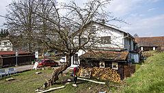 Strom roku, zkroucená jabloň na Náchodsku, se dočkala odborné péče