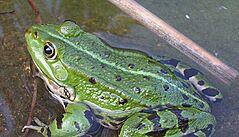Jak si žáby 'kradou vejce'. V Poodří žijí jen samci skokanů zelených, mají vlastní strategii