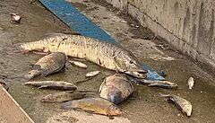 Co zavinilo úhyn stovek ryb v řece Bílině? Zřejmě odpadní vody z mostecké čističky