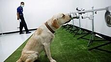 Psi v Thajsku dokážou odhalit koronavirus z potu. Přibývá zemí, kde zvířata pomáhají testovat lidi