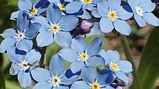 Melancholické pomněnky. Modré květiny, které se často objevují v básních