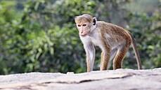 Tři hodiny na útěku a dost. Chovatelé našli makaka chocholatého z děčínské zoo