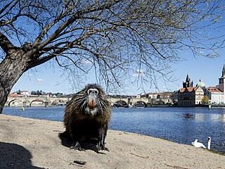 Nutrie na březích Vltavy v Praze