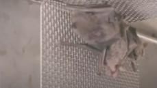 Záběry klecí s živými netopýry ve wuchanské laboratoři vyvolávají další otázky o vzniku viru
