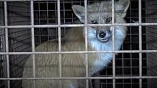 Pošlou poslanci lišky do lepšího bydlení? V malých klecích 'nemají pohodu', sněmovna o tom rozhodne dnes