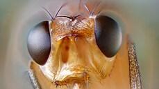 Octomilky zvládají dálkové lety. Titěrný hmyz podává na svých cestách za potravou úžasné výkony