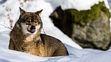Stát platí miliony za škody, které způsobí chráněná zvířata. V čele žebříčku jsou vydra, bobr či vlk