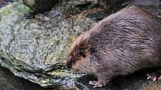 V sibiřských horách prý řádí bobr záškodník