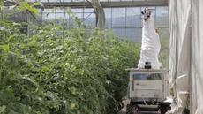 Rajčata ohlídá 'vesmírný' robot. Rozeznat by měl i člověka, aby mu neublížil