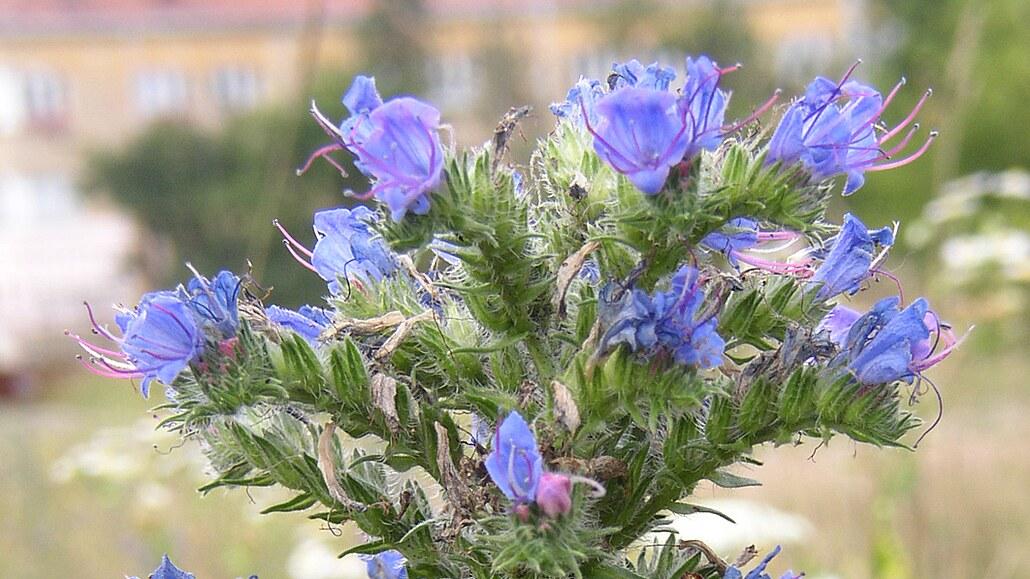 Kvetoucí ajznboňák. Ve středověku říkali hadinci volový jazyk podle dlouhých listů