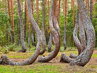 Zvláštní pokroucené stromy v Kašovicích a inspirace k slavnému příběhu